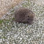 קיפוד יושב על קרקע עם אבנים