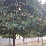 שדרת עצים באמצע רחוב