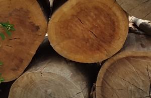 גזעי עץ